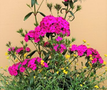 The Garden Guy: Bouquet Dianthus