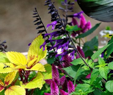The Garden Guy: Amistad Salvia